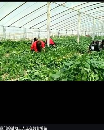 葫蘆島優質紅地瓜苗培育基地