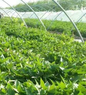 寧波高產紅薯最好的紅薯苗品種
