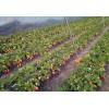 临?#25910;?#23020;草莓苗一亩地利润