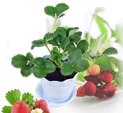 七臺河雞心草莓苗怎么買