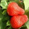 吉林全明星草莓苗栽培时间